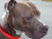 Pit Bull Terrier - Fletcher - Medium - Young - Male -