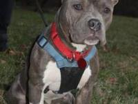 Pit Bull Terrier - Foxy - Medium - Young - Female -