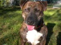 Pit Bull Terrier - Freckles - Large - Young - Male -