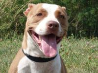 Pit Bull Terrier - Gabbie - Medium - Adult - Female -