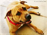 Pit Bull Terrier - Gabby - Large - Adult - Female -
