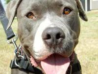 Pit Bull Terrier - Galaxy - Medium - Young - Female -
