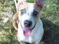 Pit Bull Terrier - General - Large - Young - Male -