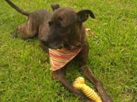 Pit Bull Terrier - Gigi - Large - Senior - Female -