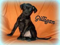 Pit Bull Terrier - Gilligan Adba Registered - Large -