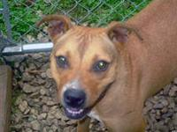 Pit Bull Terrier - Goldie - Large - Young - Female -