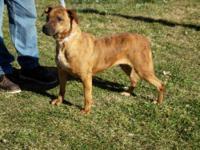 Pit Bull Terrier - Goofy - Medium - Adult - Female -