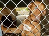 "Pit Bull Terrier - Gordo Town Hall ""boo"" - Medium -"