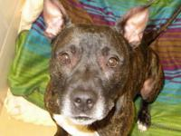 Pit Bull Terrier - Gorgeous George - Medium - Adult -