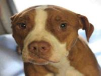 Pit Bull Terrier - Gracie - Medium - Adult - Female -