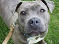 Pit Bull Terrier - Gretta - Large - Young - Female -