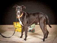 Pit Bull Terrier - Gucci - Medium - Young - Male - Dog