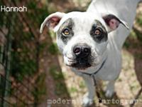 Pit Bull Terrier - Hannah - Medium - Adult - Female -