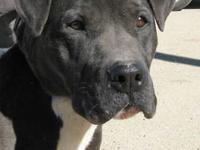 Pit Bull Terrier - Harley - Medium - Adult - Female -