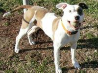 Pit Bull Terrier - Harley - Small - Young - Male - Dog