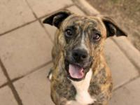 Pit Bull Terrier - Hazel - Medium - Young - Female -