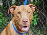 Pit Bull Terrier - Hazzard - Medium - Young - Male -