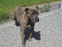 Pit Bull Terrier - Herk - Large - Adult - Male - Dog
