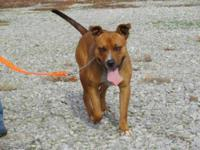 Pit Bull Terrier - Hersey - Medium - Adult - Male -