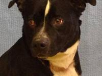 Pit Bull Terrier - Holly - Medium - Young - Female -