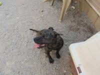 Pit Bull Terrier - Houdini - Medium - Young - Female -