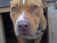 Pit Bull Terrier - Indigo - Large - Young - Male - Dog
