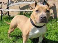 Pit Bull Terrier - Iris - Medium - Young - Female -