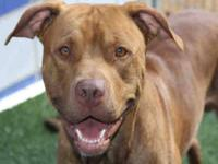 Pit Bull Terrier - Jackson - Medium - Adult - Male -