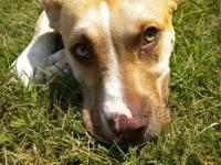 Pit Bull Terrier - Jade - Medium - Young - Female -
