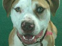 Pit Bull Terrier - Jaida - Large - Adult - Female -