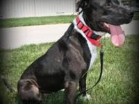 Pit Bull Terrier - Jasmine - Medium - Young - Female -