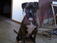 Pit Bull Terrier - Jax ~~courtsey Posting~~ - Medium -