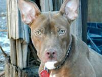 Pit Bull Terrier - Jay - Medium - Young - Male - Dog