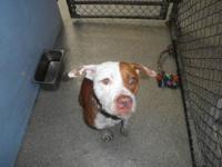 Pit Bull Terrier - Jimmy - Medium - Adult - Male - Dog