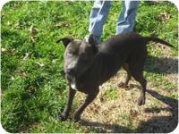 Pit Bull Terrier - Julia - Medium - Adult - Female -