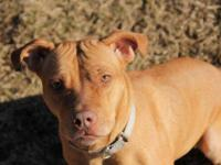 Pit Bull Terrier - Julie - Medium - Adult - Female -
