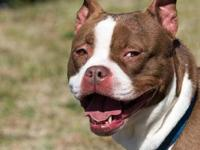 Pit Bull Terrier - Justice Marie - Medium - Adult -