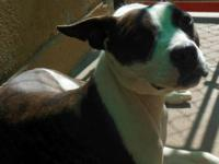 Pit Bull Terrier - Justice - Medium - Young - Female -