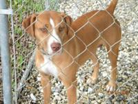 Pit Bull Terrier - Kayo - Medium - Adult - Male - Dog