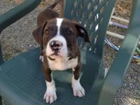 Pit Bull Terrier - Kemp - Large - Baby - Male - Dog Hi
