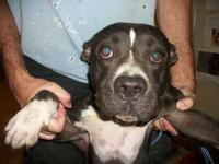 Pit Bull Terrier - Kinsey - Medium - Young - Female -