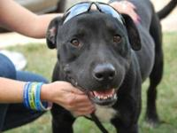 Pit Bull Terrier - Kirko - Large - Adult - Male - Dog