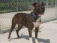 Pit Bull Terrier - Koa D130449 - Large - Adult - Male -