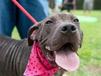 Pit Bull Terrier - Lacey - Medium - Young - Female -