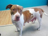 Pit Bull Terrier - Lady - Medium - Young - Female -