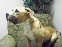 Pit Bull Terrier - Lanky - Medium - Adult - Male - Dog