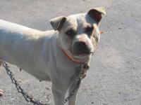 Pit Bull Terrier - Lazer - Medium - Senior - Female -