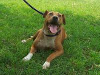 Pit Bull Terrier - Libby - Medium - Young - Female -