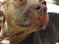 Pit Bull Terrier - Lil Mama - Medium - Adult - Female -