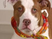 Pit Bull Terrier - Lilly - Large - Young - Female -